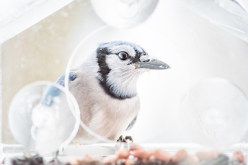 Macro closeup of one blue jay, Cyanocitta cristata, bird sitting perched on plastic glass window feeder during heavy winter snow colorful in Virginia, snow falling