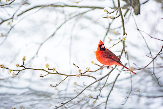 Closeup of one vibrant saturated red northern cardinal, Cardinalis, bird sitting perched on tree branch during heavy winter snow colorful in Virginia, snow flakes falling eating flower buds