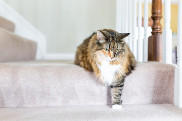Maine Coon calico cat funny resting one paw on carpet floor steps indoors inside house comfortable looking down sad, large breed neck ruff
