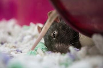 Black and white rat sleeping in cage