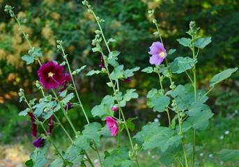 Garden Hollyhocks