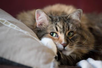 Cute Maine Coon cat closeup lying on pillow in living room red couch in home with fluffy paw, open green eyes