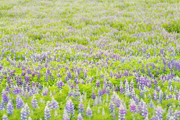 Colorful pattern bokeh of blue and purple wet lupine lupin flowers field in Iceland nature, sunny