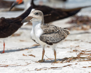 Black skimmer chick standing with pre-flight