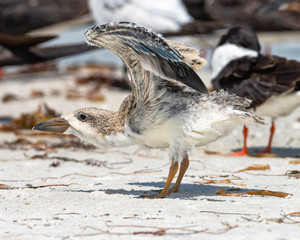 Black slimmer chick stretching wings