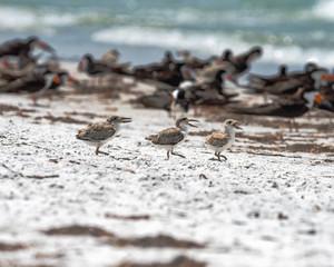 Three chicks heading for the shoreline