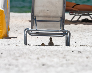 Chicks resting under the lounge chair