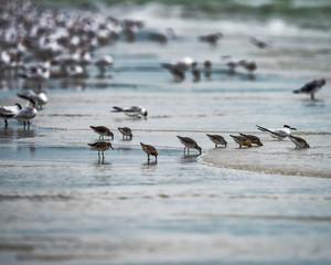 Shorebirds foraging at low tide