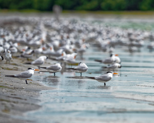 Royal terns gathered on the beach