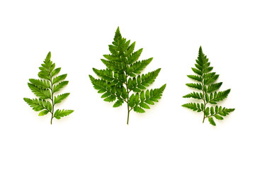 Fototapete - collection of green fern leaves isolated on white background