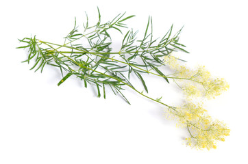 Thalictrum or Meadow-rue isolated on white background