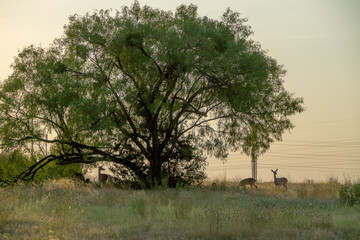 Whitetail Deer standing next to a large tree on a early Texas hill country morning