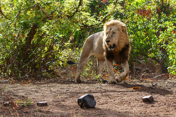 Dominant male lion walking around in the Kruger National Park in South Africa