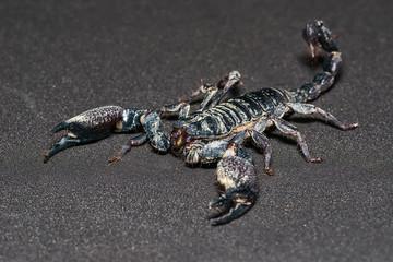 Black scorpion isolated on black background