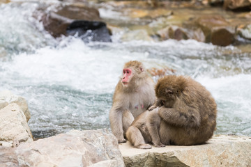 Jigokudani Monkey Park , monkeys bathing in a natural hot spring at Nagano , Japan