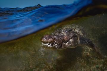 Сrocodile underwater