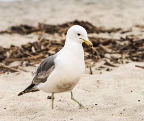 Seagull walking in the Sand on the Beach in San Diego, California