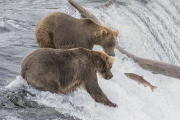 A Salmon Jumping up a Waterfall faces two bear waiting for him