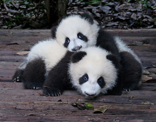 Photo sur Aluminium Panda Baby Giant Pandas Playful and adorable