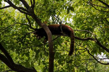 Foto op Textielframe Aap Lesser panda