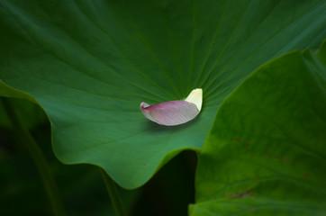 蓮・葉に落ちた花びら