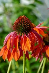 Beautiful bright red orange cone flower with green blurred background, closeup