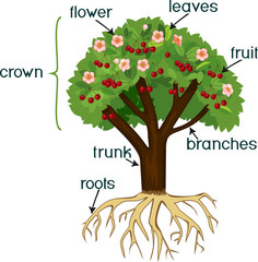 Parts of plant. Morphology of cherry tree with root system, flowers, fruits and titles