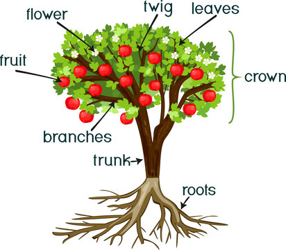 Parts of plant. Morphology of apple tree with root system, flowers, fruits and titles