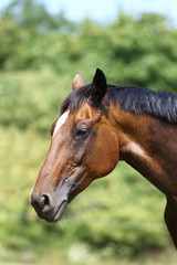 Head of a young thoroughbred horse on the summer meadow