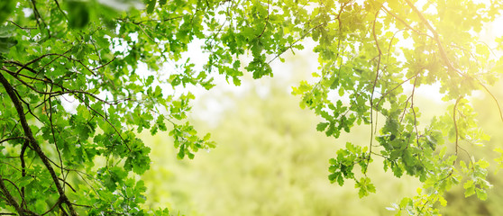 Wall Mural - Oak leaves background in summer with beautiful sunlight. Green foliage