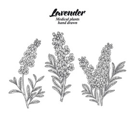 Set lavender branches with leaves and flowers isolated on white background. Hand drawn vector illustration engraved.