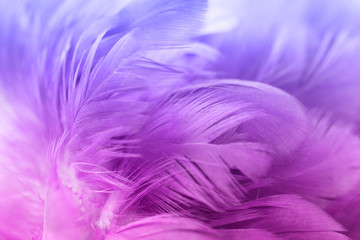 Colorful chicken feathers in soft and blur style for the background