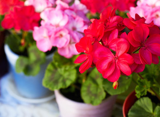 Red and pink geranium flowers in flowerpots, close-up, diagonal view