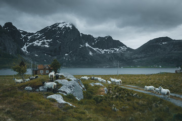 Norwegian lofoten landscape with sheeps