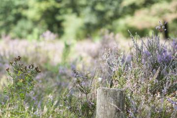 beautiful heather field in late summer