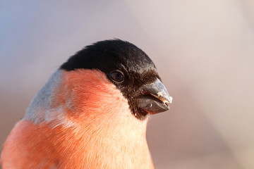 Close-up portrait of male bullfinch with blue to pink blurred background