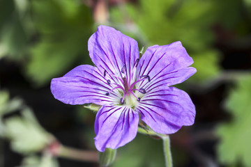 Geranium wlassovianum blue purple herbaceous springtime summer flower plant commonly known as cranesbill