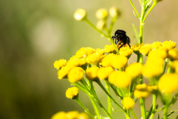 bee on tansy