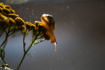 the snail on the tansy