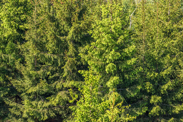 Green spruce trees in a forest