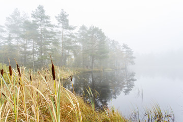 Bulrush at a Wetland in a fog at a lake