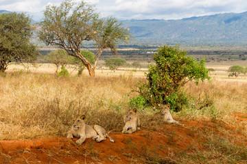 Lions in Kenya, Africa