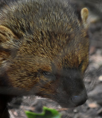 Fisher Cat in the Wild Up Close