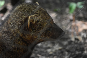 Profile of a Wild Fisher Cat