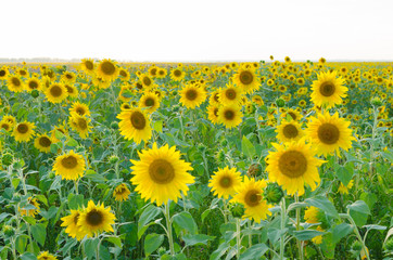 Field of sunflowers on Sunny day.