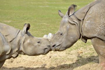 Closeup two Indian rhinoceros (Rhinoceros unicornis) seen from profile, muzzle against muzzle