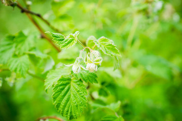 Raspberry bush in the garden. Selective focus.
