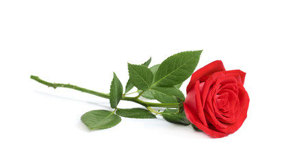 Foto op Aluminium Roses Beautiful red rose flower on white background