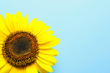 Beautiful bright sunflower on color background, top view