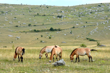 The Przewalski's horse  (Equus przewalskii or Equus ferus przewalskii) also called the Mongolian wild horse or Dzungarian horse, is a rare and endangered horse native to the steppes of central Asia.